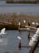 آغاز مهاجرت پرندگان آبزی و کنار آبزی به تالاب هورالعظیم